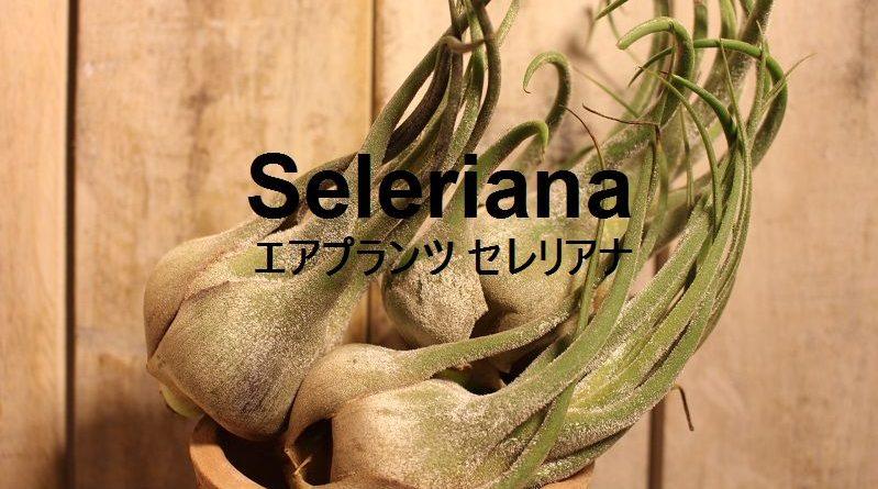 代表的なつぼ型種 エアプランツ セレリアナ